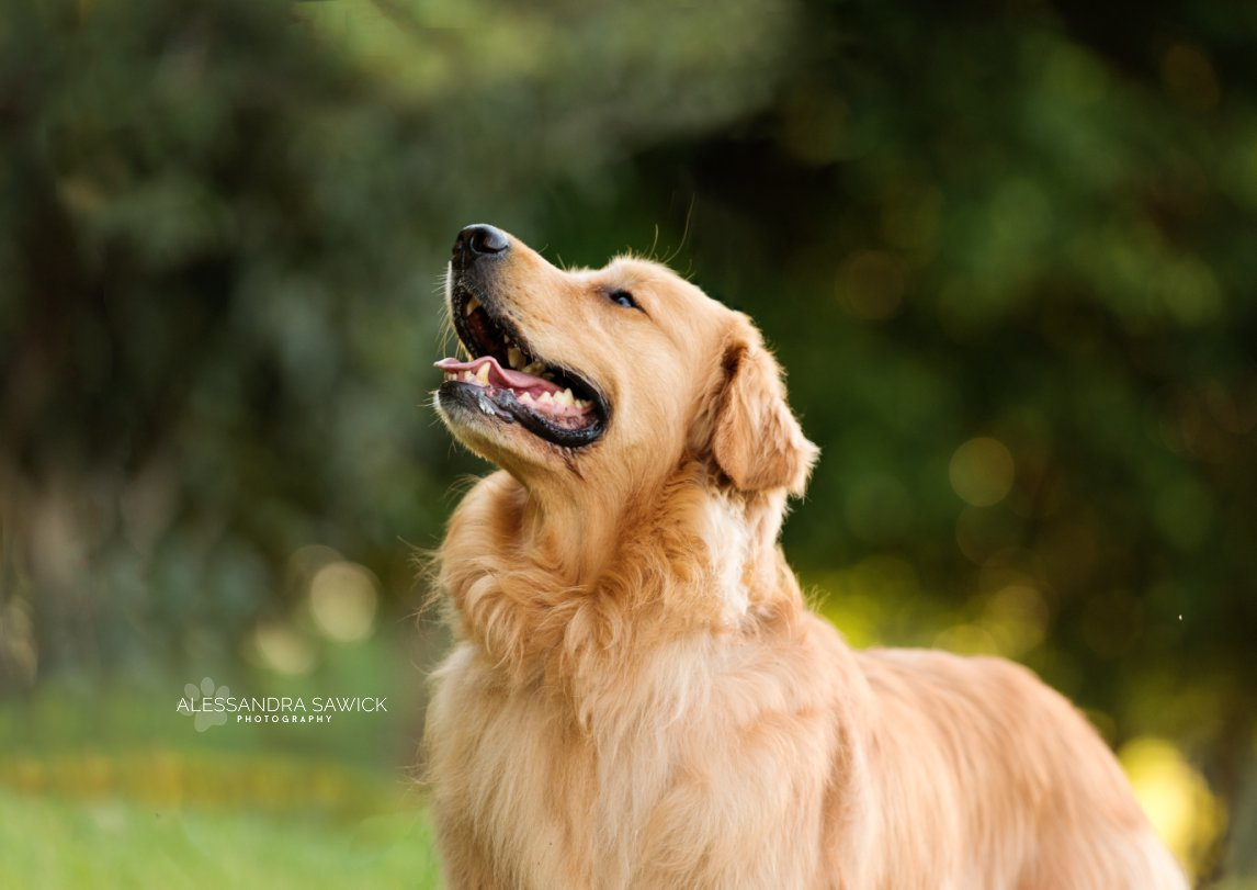 Photos of a Golden Retriever done in Londrina, Brazil by dog photographer Alessandra Sawick