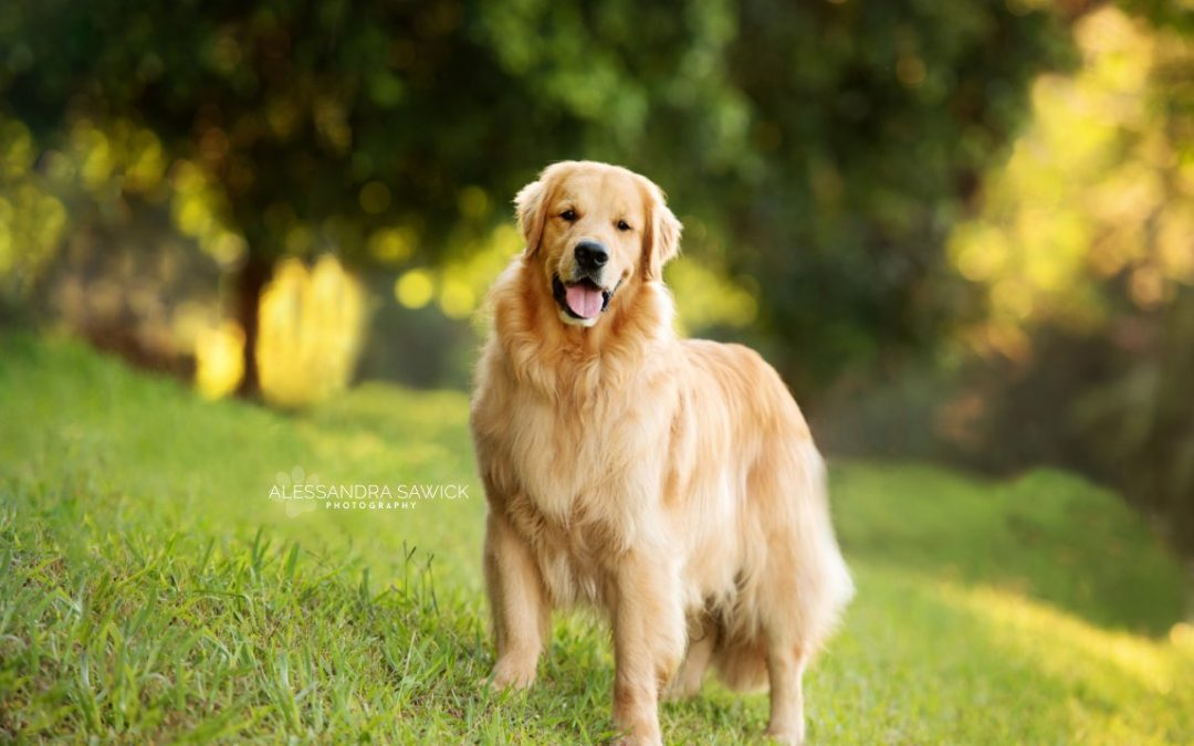The Golden Retriever celebrity in Londrina, Brazil!