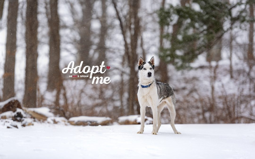 Things you should know before adopting a husky!